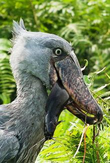 shoebill bird