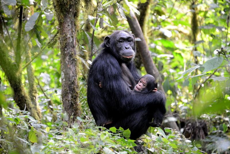 Kibale forest chimp